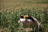 a9344024_corn.jpg
