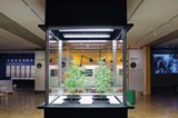 COURTESY OAKLAND MUSEUM OF CALIFORNIA - Live marijuana plants on display.