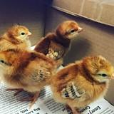 bd7e40d4_chicks.jpg