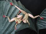 c587f585_0_origamiredeyedfrog.jpg