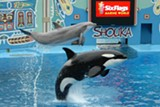 Until recently, Six Flags had an orca named Shouka, who performed with dolphins.