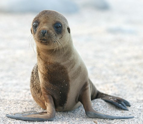 Sea_Lion_Pup.jpg