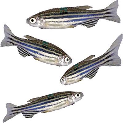 Zebrafish.
