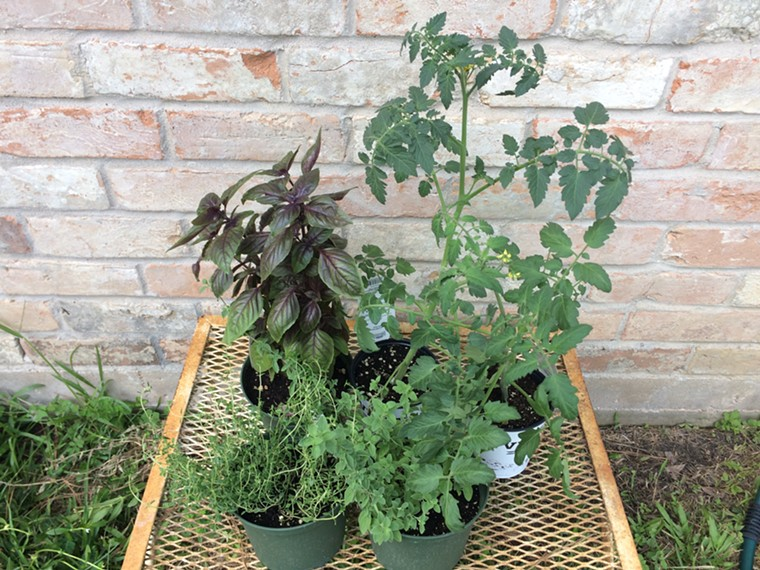 These tomatoes and herbs will definitely get planted this week. - PHOTO BY LORRETTA RUGGIERO