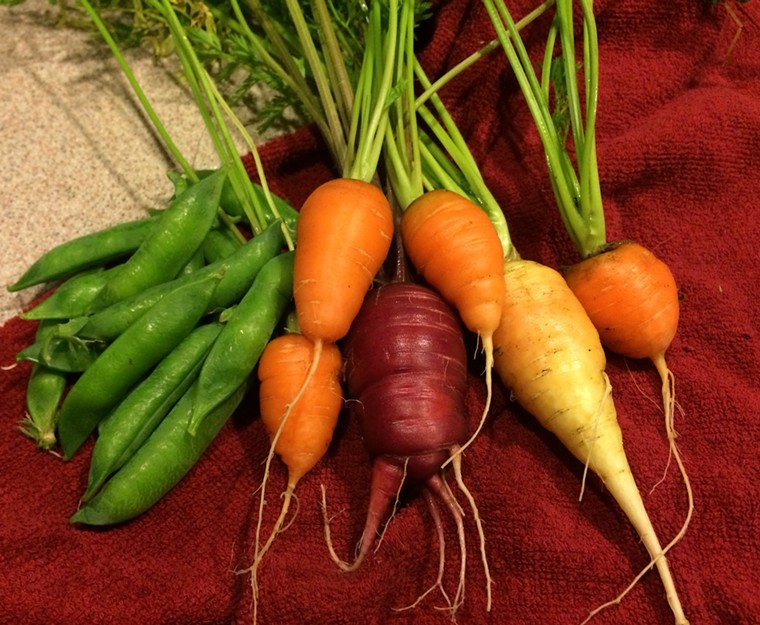 My carrots this year were stubbies. - PHOTO BY LORRETTA RUGGIERO