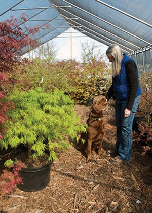 Three-year-old chocolate lab Eli makes the rounds at the nursery with Gale. - PHOTO BY GINNY LEE