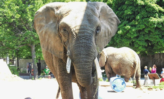 An elephant named Brittany, a former circus performer at the Milwaukee County Zoo. - PHOTO BY JOHN CAMPER