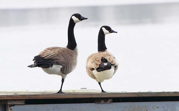 "Second place, Liz Bennett Cheek of Spring Lake for ""And They Said We Didn't Have a Leg to Stand On."" Liz caught a pair of geese in a precarious pose on a dock in Tazewell County."