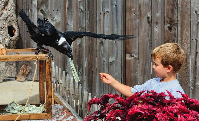 A white-necked raven named Hugnin collects donations after the Birds of Prey show. - PHOTO COURTESY OF THE MILWAUKEE COUNTY ZOO.