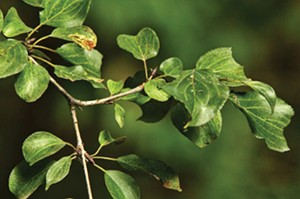Common buckthorn - PHOTO BY ED SUBA JR./TNS