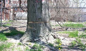 It's death for all of the mature trees on the Pillsbury plant site. - PHOTO BY R.L. NAVE