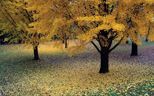 "Third place, Tom Ala of Springfield for ""Ginkgo Yellow."" Ala's photo was taken in Washington Park during the fall of 2010."