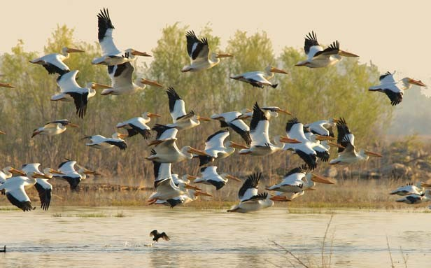 One of the most anticipated events for bird watchers in the Midwest is the annual migration of the American White Pelican. They have made the Emiquon Preserve a stop on their trip to the Gulf of Mexico for the winter. - PHOTO ©JOAN MAZEIKA 2011