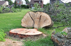 Because of the ash borer, Springfield has cut down hundreds of ash trees and plans to take down 2,000 more.