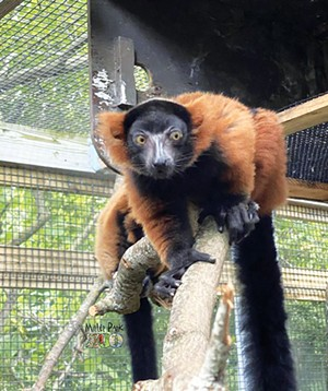 A baby red ruffed lemur is the newest addition to the Miller Park Zoo in Bloomington. The zoo is open 9:30 a.m. to 4:30 p.m. every day. - PHOTO COURTESY OF MILLER PARK ZOO.