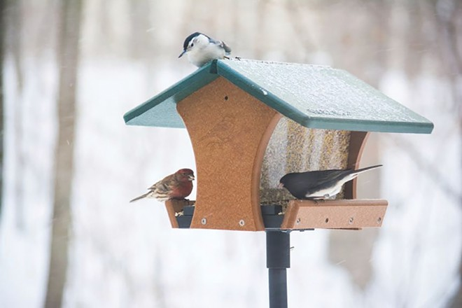 B: Feeding birds such as a junco, nuthatch and house finch is a popular pastime during the pandemic. - PHOTO COURTESY OF WADE KAMMIN