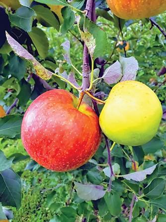 Okaw Valley Orchard in Sullivan.