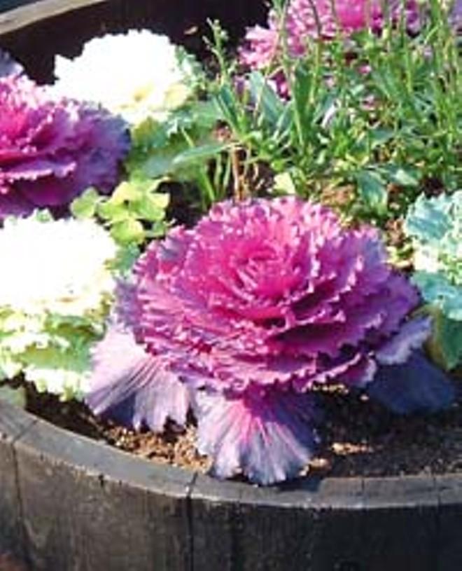 Ornamental Kale Brightens Your Fall Garden