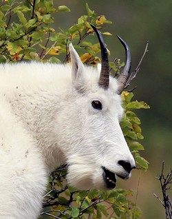 This photo of a mountain goat by Charlie Wheeler of Potlatch will be included in an exhibit at Artisans at the Dahmen Barn in Uniontown.