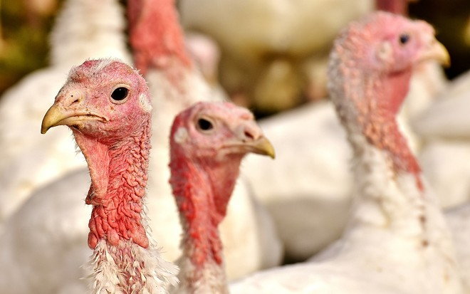 turkeys-2940378_1280.jpg