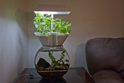 In this example of an aquaponic aquarium, a goldfish helps nourish a growing plant.