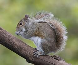 Eastern_Grey_Squirrel.jpg