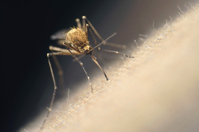 Mosquito - GETTY IMAGES/FLICKR RF