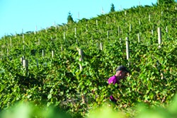 A volunteer walks through the rows of grapes at Spiral Rock Vineyards during a grape-picking party. - TRIBUNE/ PETE CASTER