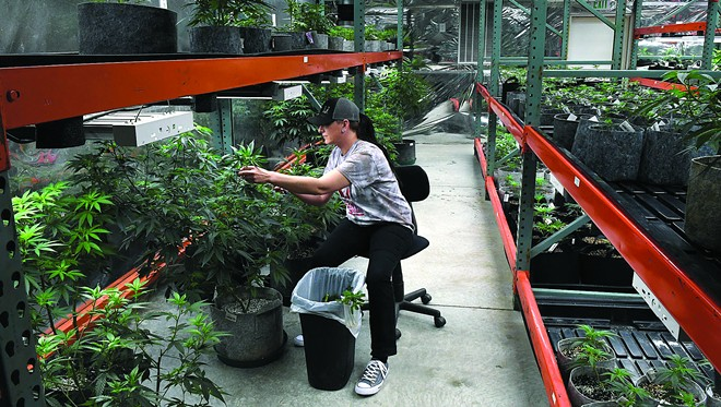 Hells Canyon Cannaibis master grower Stephanie Reno works to take cuttings to replant to make more mature plants. - PHOTO STEVE HANKS