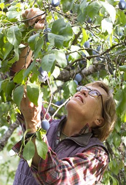 Jeanne Leffingwell picks Italian prune plums from a tree outside her home on Monday in Moscow. - GEOFF CRIMMINS/DAILY NEWS