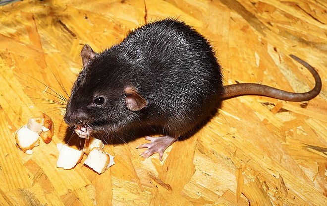 We lured a rat into the office last January with a moldy cheese puff and asked him (or her, not sure, no one wants to check) to write an advice column for us in 2020, the year of the rat in Chinese Astrology. Little did we know a pandemic was coming and that we had found the ideal columnist for a year shaped by fear of disease and pestilence.