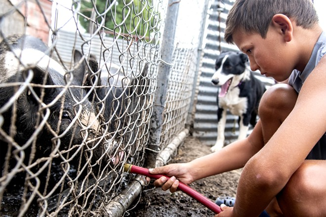 Jarrett Barnes, 8, feeds his pigs, Fortnite Master and Fortnite Pro, that he is raising to show in 4-H on their family farm on Saturday. August Frank/Tribune - AUGUST FRANK/TRIBUNE