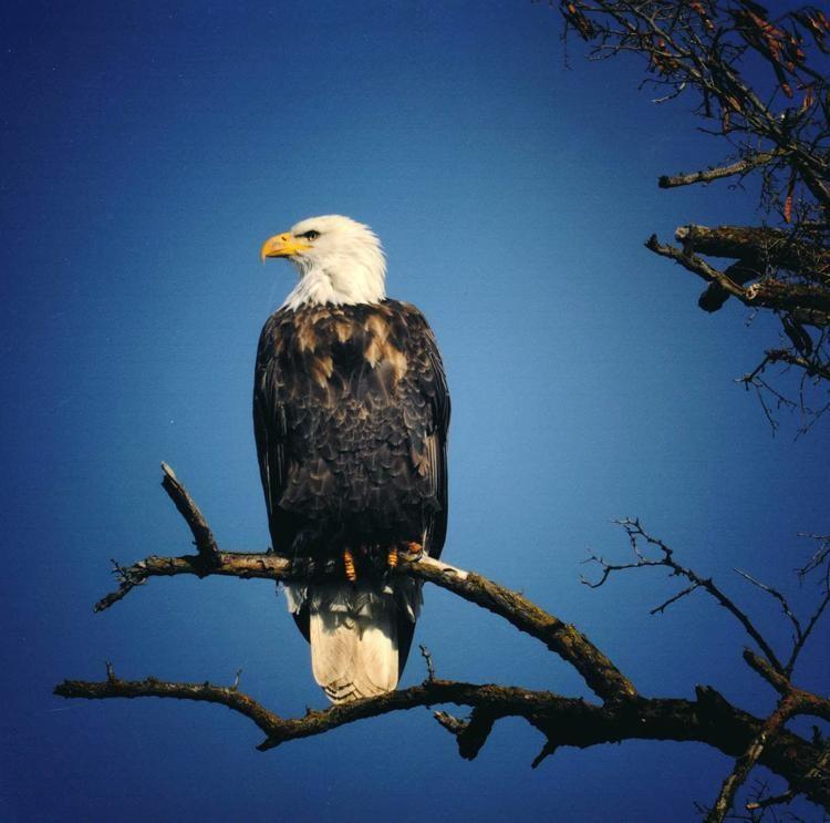 Eagle-Bob-Carriere-Lewiston.jpg
