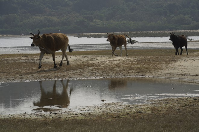 Cows run over to eat at Lantau island, the biggest island within the territory of Hong Kong on Jan. 17, 2021. The Chinese Year of the Ox begins Friday, Feb. 12, and in the shadow of Hong Kong's futuristic urban skyline, wild bovines are getting some love. Ho Loy of the Lantau Buffalo Association and her team of volunteers dedicate most weekends to checking on the cattle that roam the biggest island within the territory of Hong Kong. (AP Photo/Vincent Yu)