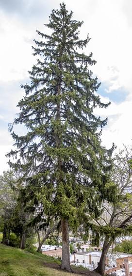 A douglas fir tree at Lewiston's Pioneer Park. - AUGUST FRANK/360