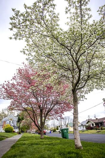 Dogwood trees bloom in Lewiston. - AUGUST FRANK/360