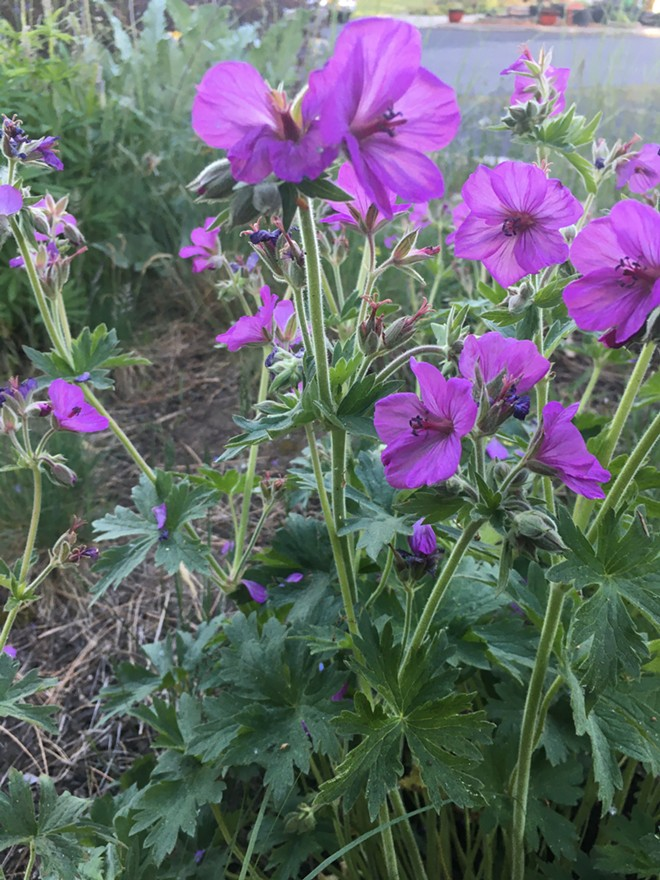 Sticky geranium's flowers and large distinctive leaves bring color to gardens. The bright flowers attract pollinators in late spring and early summer. Grows 1 to 3 feet tall in meadows, prairies, open woodland and pineland edges where there is partial or full sun. - PENNY MORGAN