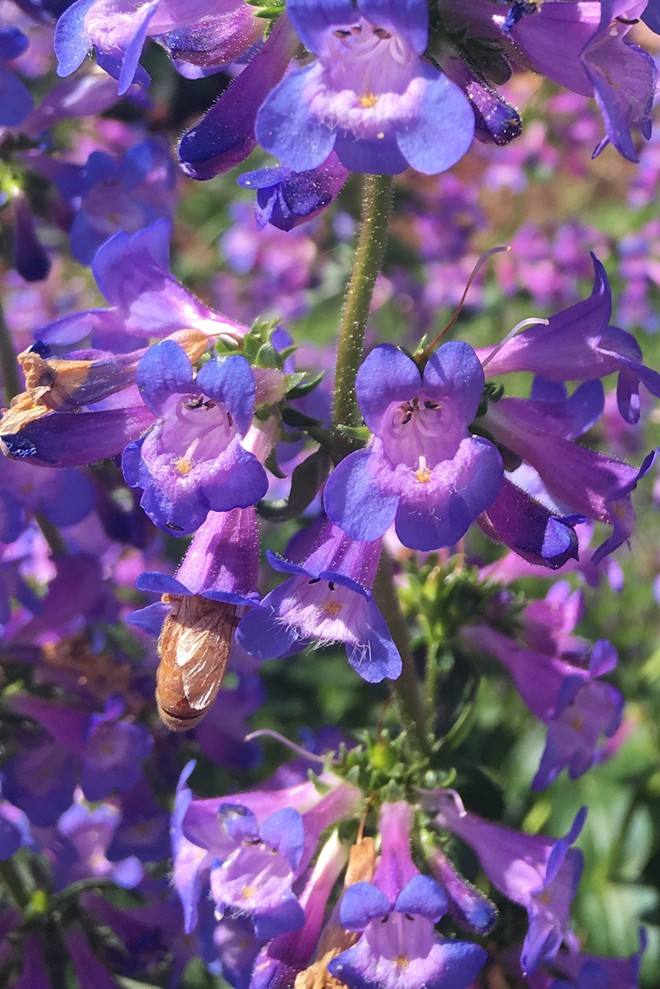 Taper-leaf penstemon, with showy, blue, tubular flowers, is easy to grow, and bees love it. In rich soils, plants can grow to be 1 to 2 feet tall with many dark green leaves. - PAM BRUNSFELD