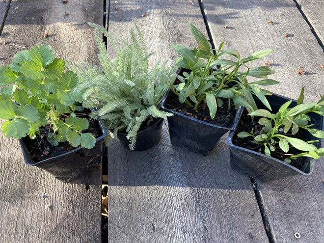 From left to right are: sticky cinquefoil, which will soon have bright yellow flowers; western yarrow, which will bloom white and expand rapidly into open spaces; and two western mountain aster plants, which will bloom in late summer with purple ray flowers with yellow centers that attract pollinators. All are easy-to-grow perennials. - PENNY MORGAN