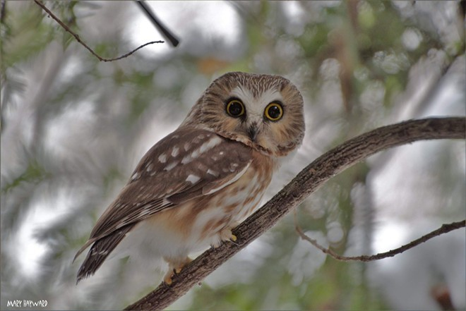 The northern saw-whet owl is small but there's an owl that is even smaller. Do you know what species it is? This photo was taken by Mary Haywood, of Clarkston, at Hells Gate State Park in Lewiston in February. She submitted it to Share Your Snaps at inland360.com, where we welcome reader photos.