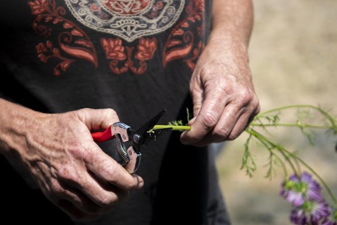 Taugher trims the stem of a cosmos flower. - ZACH WILKINSON / INLAND 360