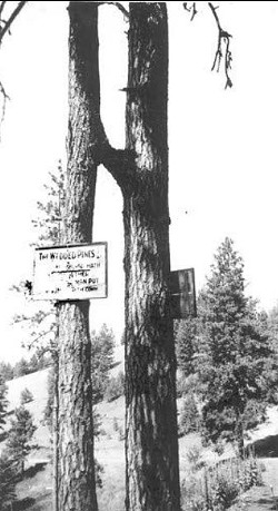 A 1934 photo of the wedded pines.