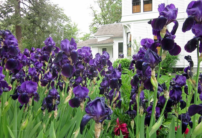 Irises in Bloom at The Boldman Garden