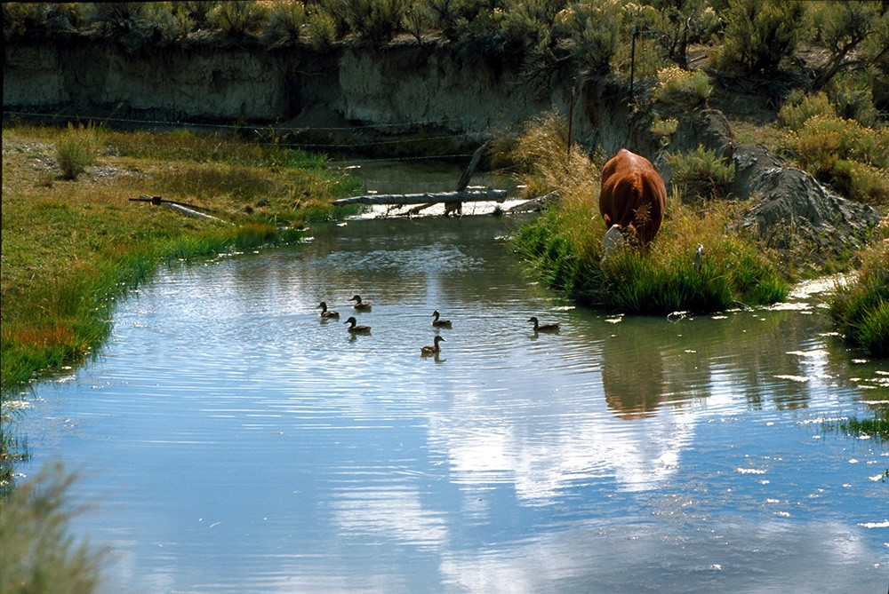 A cow grazes in the Coal Mine Canyon area of Nevada. - BUREAU OF LAND MANAGEMENT