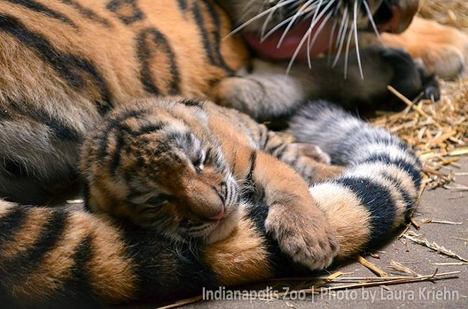 A female Amur Tiger cub was born at the Indianapolis Zoo in summer 2014. - ZOOBORNS/INDIANAPOLIS ZOO