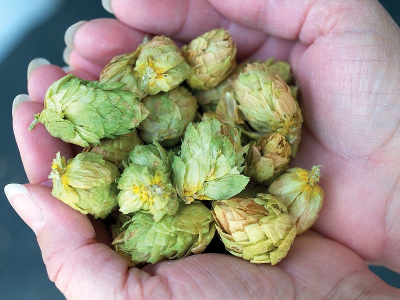 A handful of Idaho hops - GUY HAND