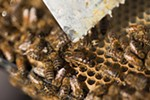 A queen, center, is surrounded by her brood at Mark T. Durst and Sons.