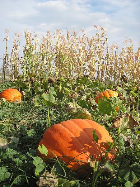 A scene from the Colville Corn Maze & Pumpkin Patch. - COLVILLE CORN MAZE