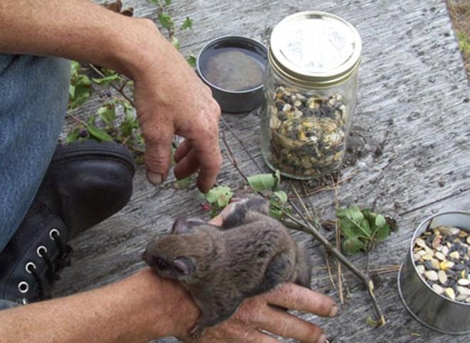 An injured squirrel being helped by the habitat. - COURTESY OF KIWANI WAMBLI WILDLIFE REHABILITATION HABITAT