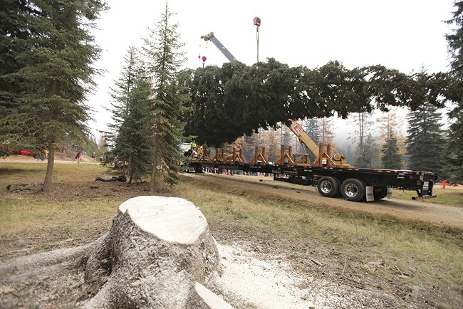 The U.S. Capitol Christmas Tree is lifted onto a truck after it was cut from the Colville National Forest on Friday. - YOUNG KWAK